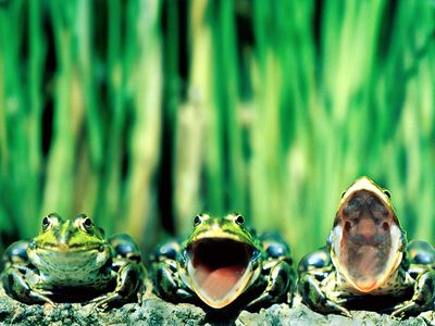 Frog wallpapers 2